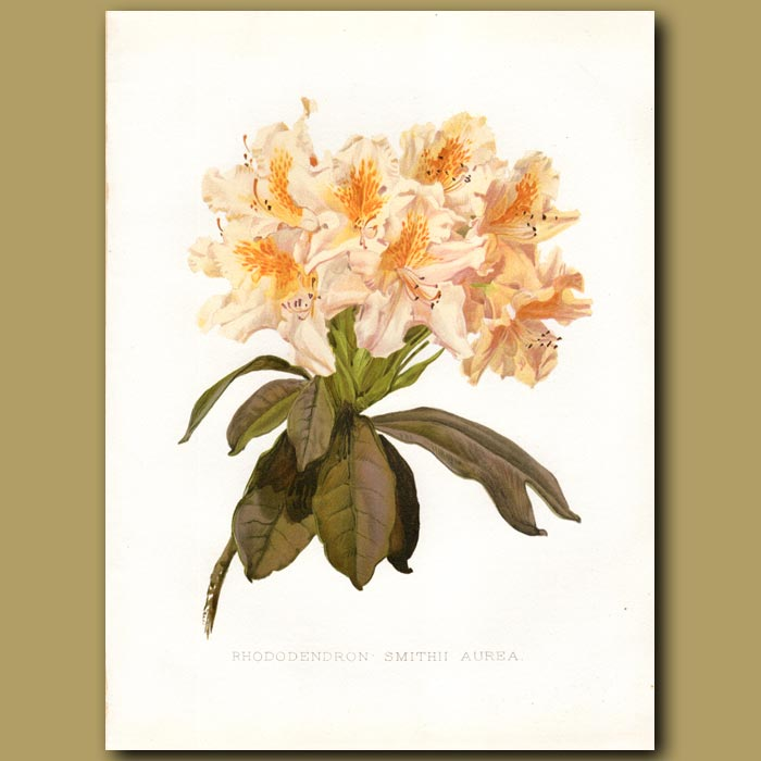 Antique print. Smith's Rhododendron