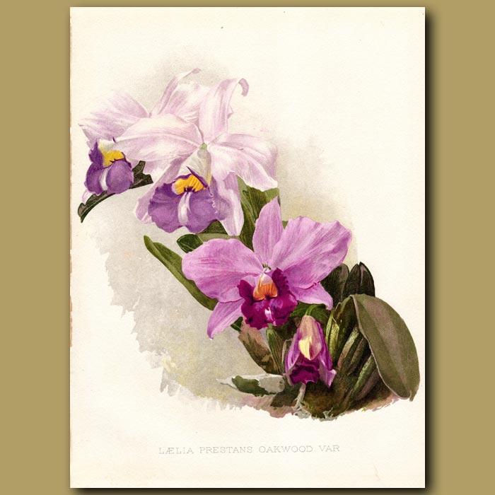 Antique print. Laelia Orchid