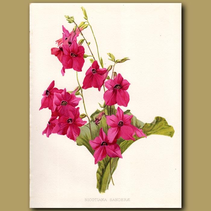 Antique print. Flowering Tobacco