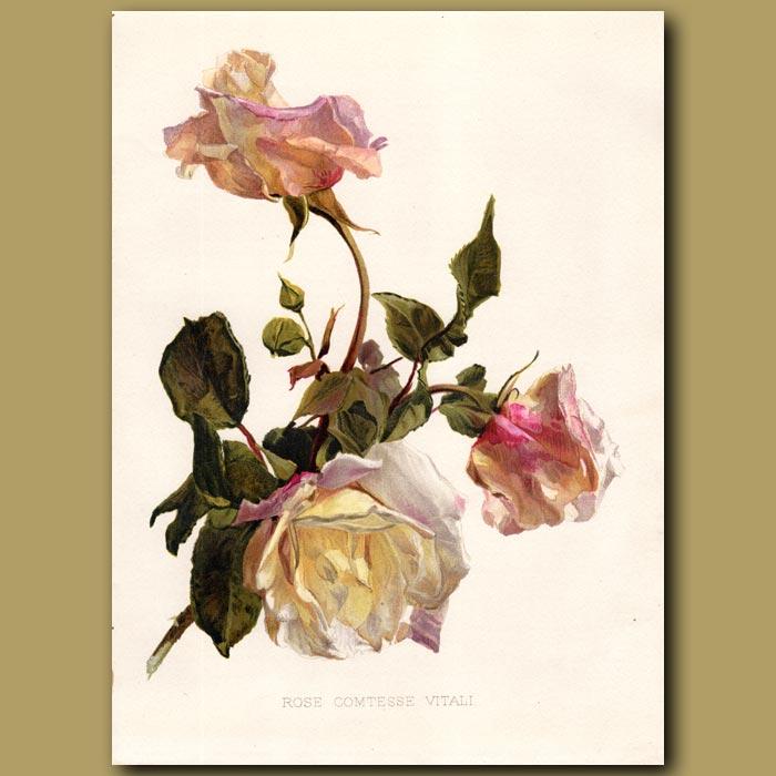 Antique print. Comtesse Rose