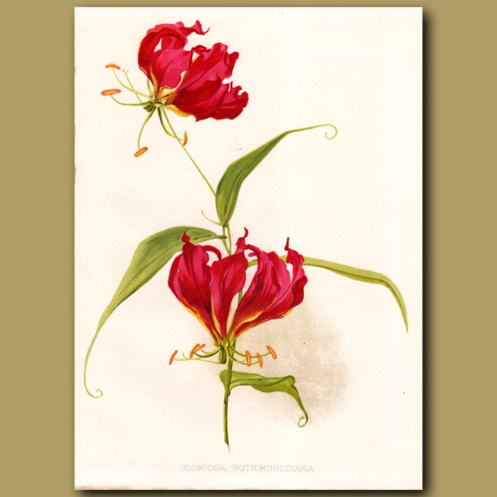 Antique print. Flame Lily