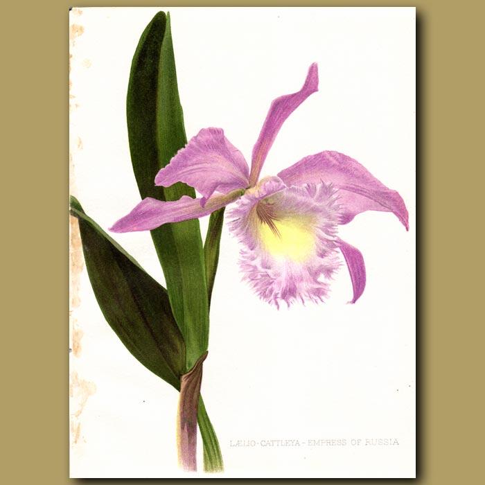 Antique print. Laelia Cattleya Orchid