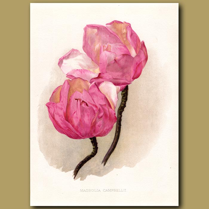 Antique print. Campbell's Magnolia