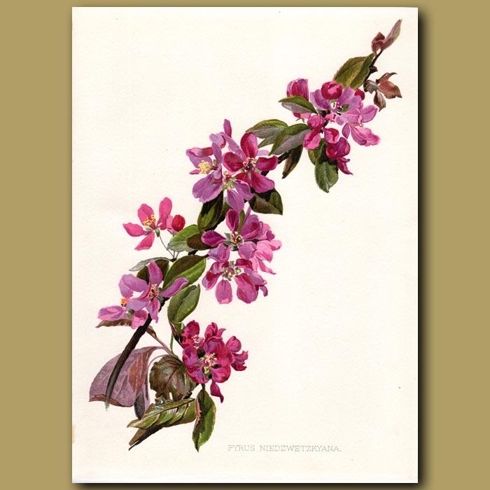 Antique print. Pear Blossoms