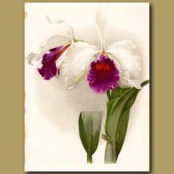 King Laelio Cattleya Orchid