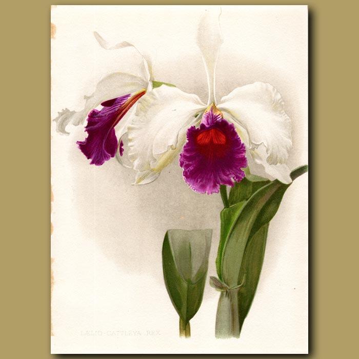Antique print. King Laelio Cattleya Orchid