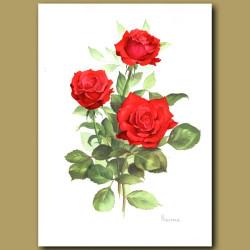 Rose Baccara