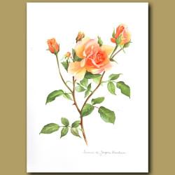 Rose Souvenir de Jacques Verschuren