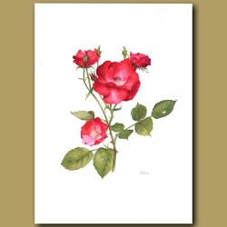 Rose Alain