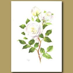 Rose Virgo