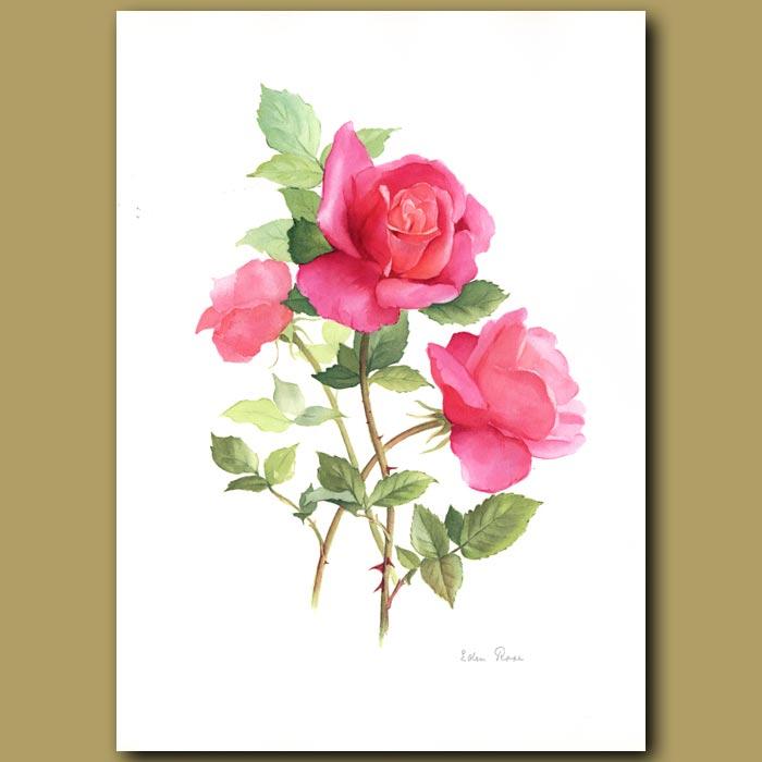 Antique print. Eden Rose