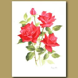 Rose Superstar