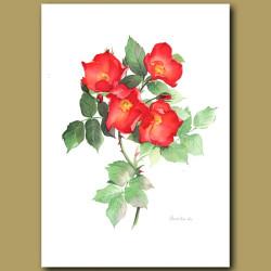 Rose Sarabande