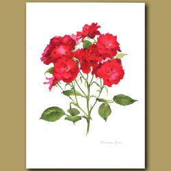 Rose Schweizer Gruss