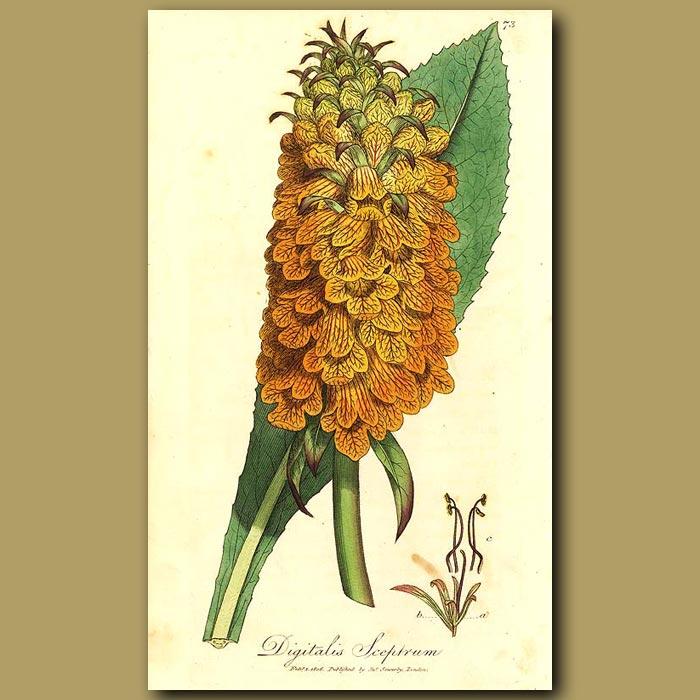 Antique print. Madeira Shrubby Foxglove