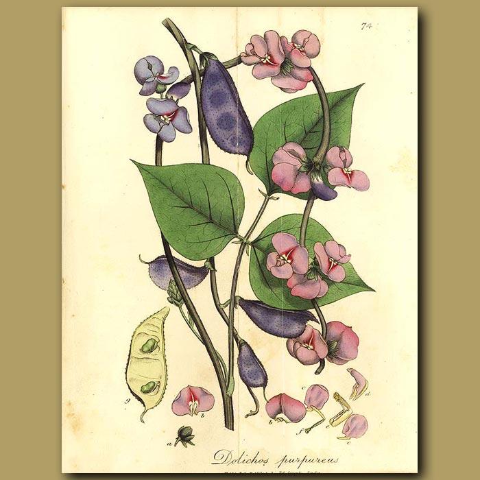 Antique print. Purple Dolichos (fold Out Print)