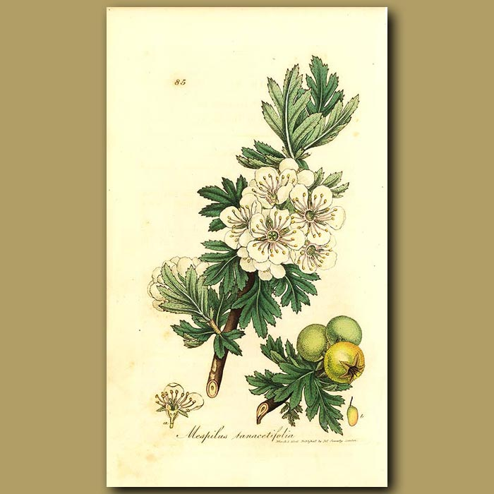 Antique print. Tansy Leaved Hawthorn
