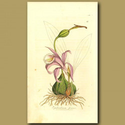 Orchid: Purple Fringed Epidendrum