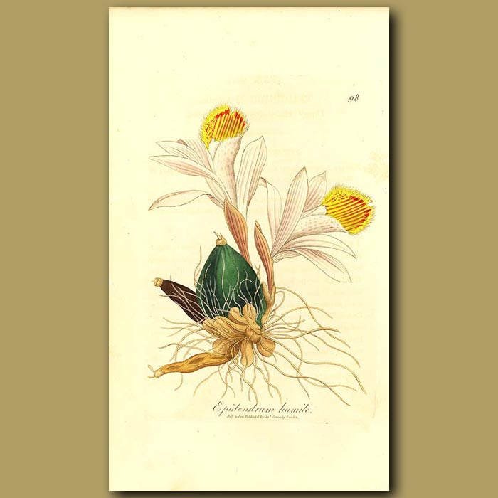 Antique print. Orchid: Dwarf Hairy Lipped Epidendrum