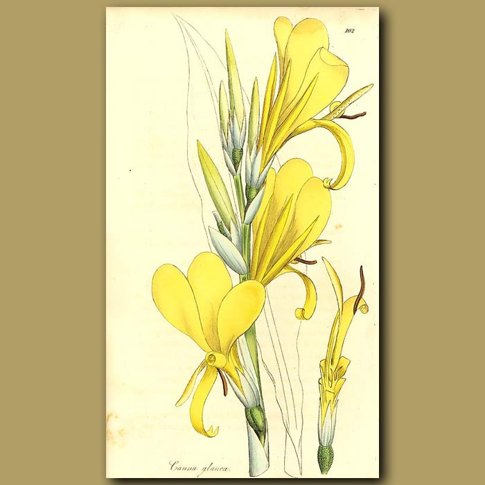 Antique print. Canna Lily: Glaucous Indian Reed
