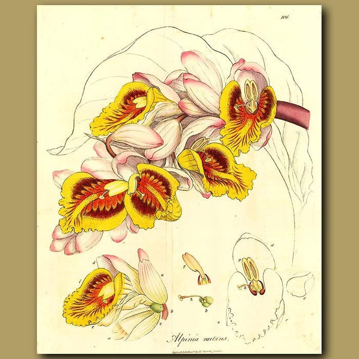 Antique print. Cardamon: Drooping Alpinia (fold Out Print)