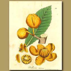 Golden Dillenia (fold Out Print)