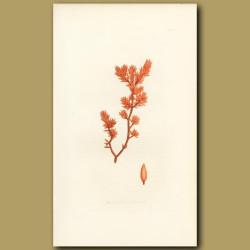 Seaweed: Oval Leaved Fucus