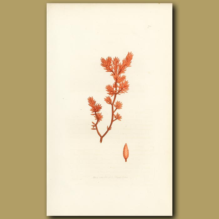 Antique print. Oval Leaved Fucus