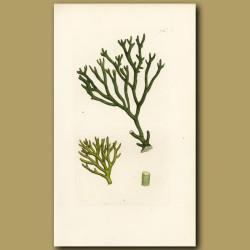 Seaweed: Downy Fucus