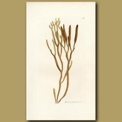 Seaweed: Tuberculated Fucus