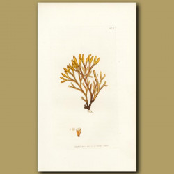 Seaweed: Channelled Fucus
