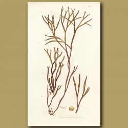 Seaweed: Worm Like Fucus