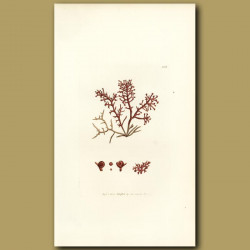 Seaweed: Grape Seed Fucus