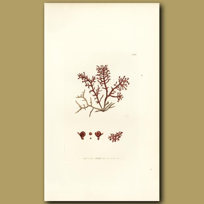 Antique print. Grape Seed Fucus