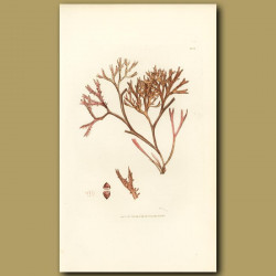 Seaweed: Pine Fucus