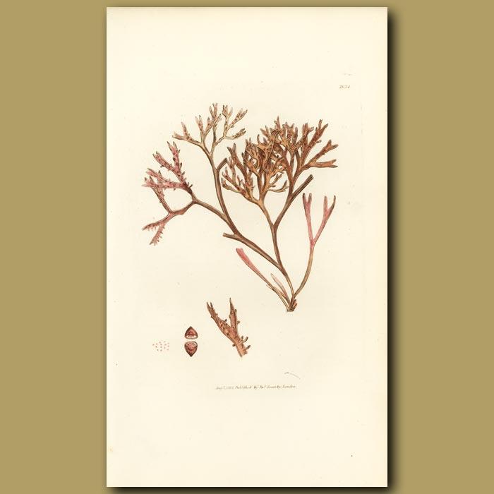 Antique print. Pine Fucus