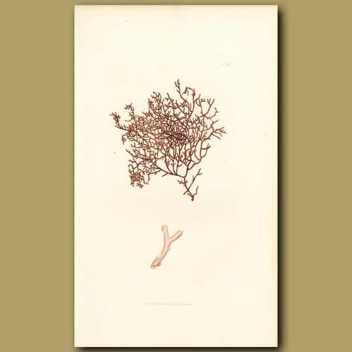 Antique print. Matted Fucus