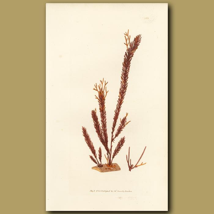 Antique print. Club Moss Fucus