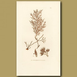 Seaweed: Brownish Fucus