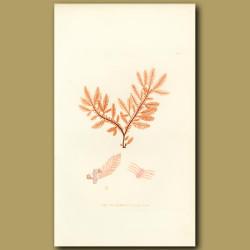 Seaweed: Feathery Fucus