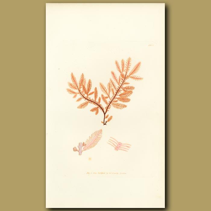 Antique print. Feathery Fucus