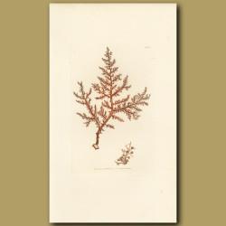 Seaweed: Buck's Horn Fucus