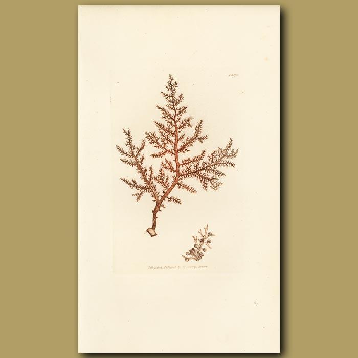 Antique print. Buck's Horn Fucus