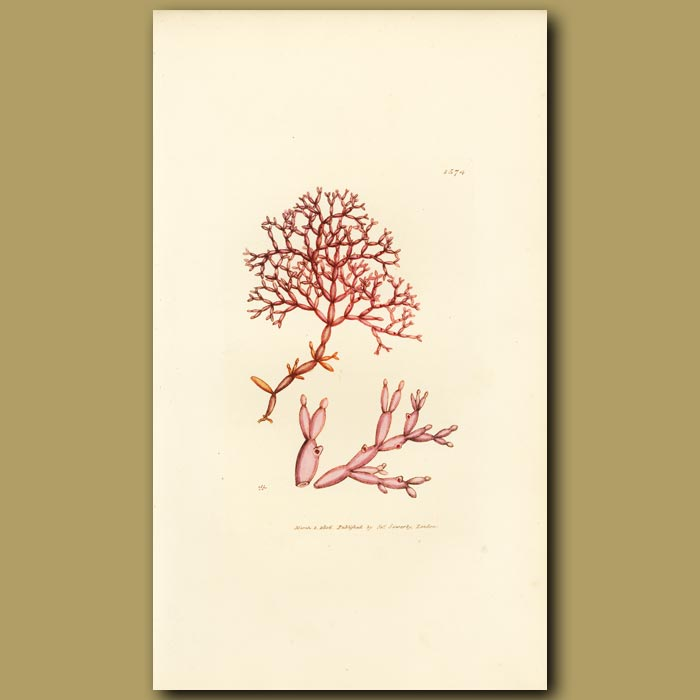 Antique print. Jointed Fucus