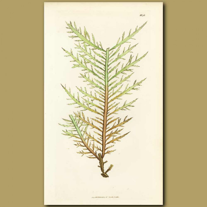 Antique print. Seaweed: Green Strap-leaved Fucus