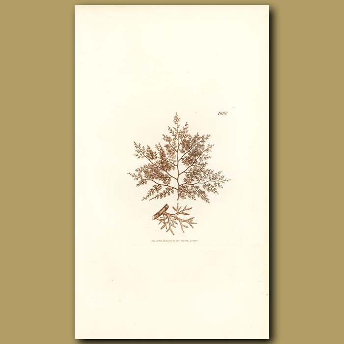 Antique print. Little Shrubby Fucus