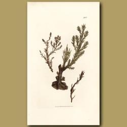 Seaweed: Heath Like Fucus