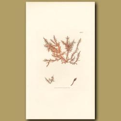 Seaweed: Horny Pinnate Fucus