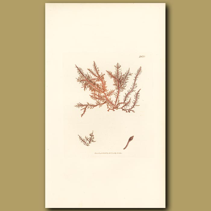 Antique print. Horny Pinnate Fucus
