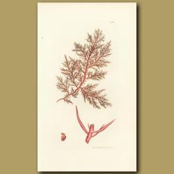 Seaweed: Red Capillary Fucus